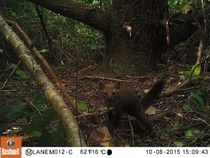 New research concludes that trapping just a few Humboldt martens for their fur would put the species at risk of extinction.