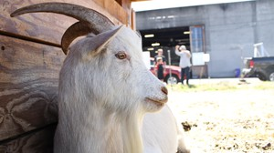 Neighbors say goodbye to the Belmont goats.