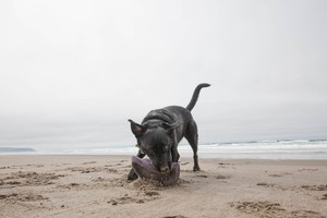 Bill Minnix's service dog, Elsa, on the beach in Pacific City.