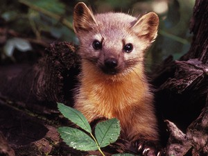 The American pine marten, a member of the marten family, is closely related to the rare coastal marten.