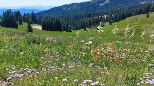 This is the height of wildflower and bumblebee season on the meadows of Mount Ashland.