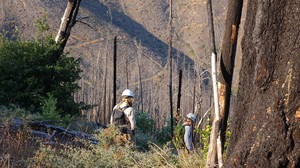 Field research in the Douglas Complex burn scar is looking to see how native bees respond for different fire severity.