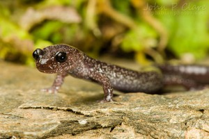 Environmental groups are petitioning for the Siskiyou Mountains salamander to be added to the Endangered Species list.