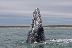 Western gray whale off the northeast coast of Sakhalin Island in the Sea of Okhotsk taken during the 2011 tagging season under the joint effort of A.N. Severtsov Institute of Ecology and Evolution of the Russian Academy of Sciences (IEE RAS) and Oregon State University Marine Mammal Institute in collaboration with the U.S. National Marine Fisheries Service and Kronotsky State Nature Biosphere Reserve.