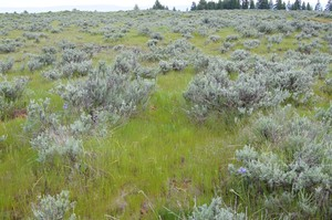 """Ventenata grass takes over """"scablands"""" on the south end of the Umatilla National Forest."""