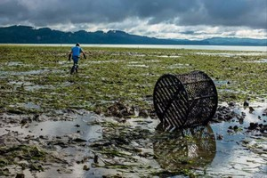 The eel grass that is being displaced by the colonies of burrowing shrimp in the Willapa Bay not only provides growing oysters a place to live above the mud, but also holds the mud together, allowing oyster workers to walk along the beds with relative ease.