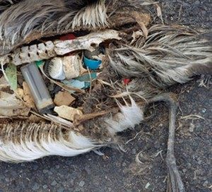 The unaltered stomach contents of a dead albatross chick photographed on Midway Atoll National Wildlife Refuge in the Pacific in September 2009 include plastic marine debris fed the chick by its parents.
