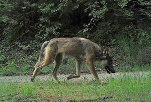 A photo of a male wolf from the Sherman Pack captured by a camera trap.