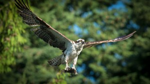 Osprey flies with a fresh fish catch in its talons.