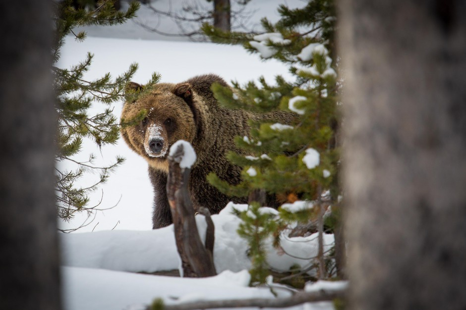 A grizzly bear in the snow at Yellowstone National Park, Nov. 20, 2014.