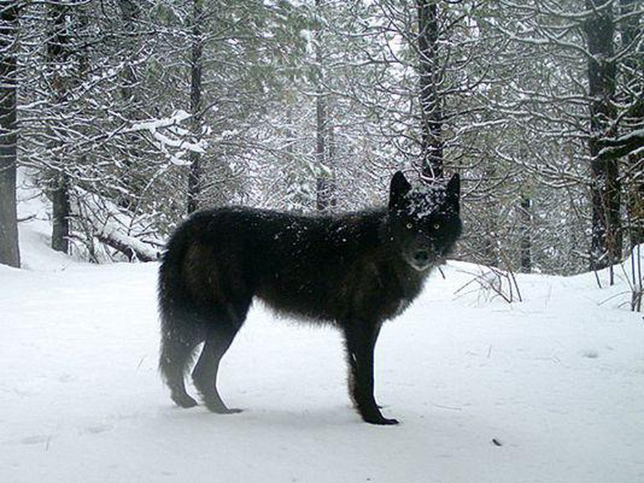 A wolf of the Wenaha Pack captured on a remote camera on U.S. Forest Service land in northern Wallowa County.