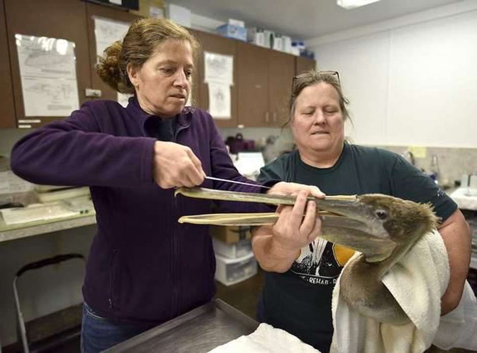 Biologist Deborah Jaques, left, and Reva Lipe take measurements of a brown pelican at the Wildlife Center of the North Coast.