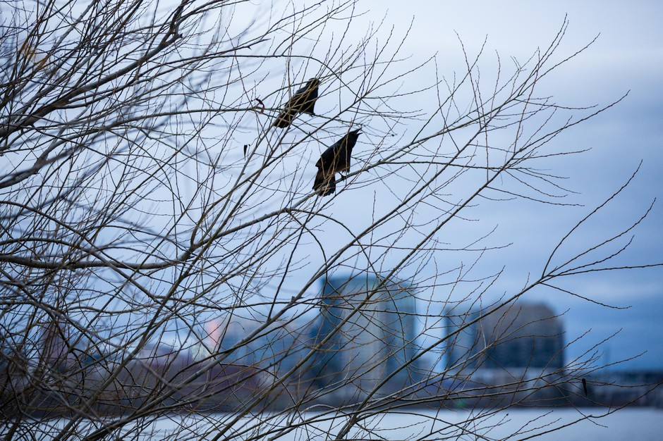 Crows descend upon Willamette Park in Southwest Portland, Oregon, Thursday, Jan. 3, 2019.