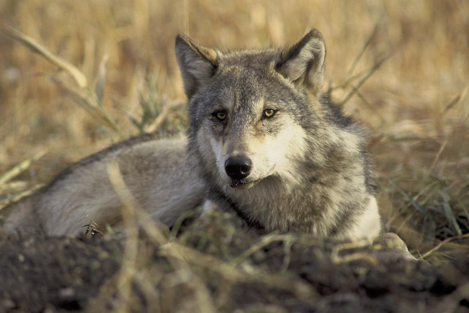 A resting gray wolf.