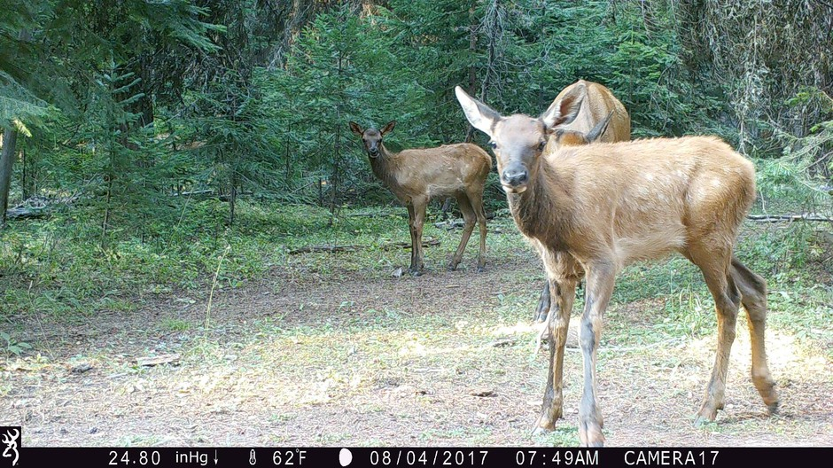 Elk calves recorded by trail cameras in Wallowa Whitman National Forest, Aug.4, 2017.