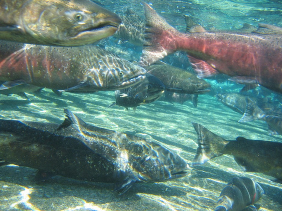 Fall chinook. Fishery managers closed ocean salmon seasons on about 200 miles of coastline in Oregon and California in 2017.