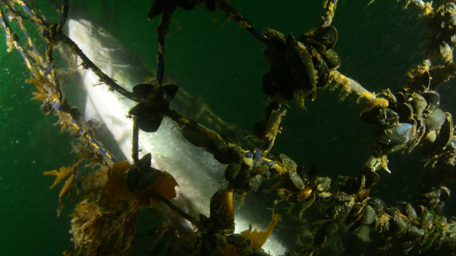Mussels cling to netting of a collapsed Atlantic salmon farm off Puget Sound's Cypress Island on Aug. 24, 2017.